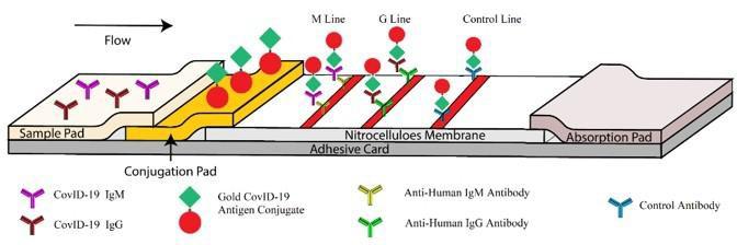 IgM / IgG抗体複合検出(コロイドゴールド法)の模式図